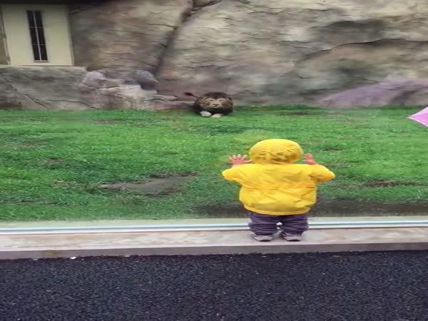 Útok lva na malé dítě