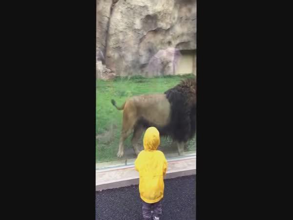 Lev zaútočil na batole