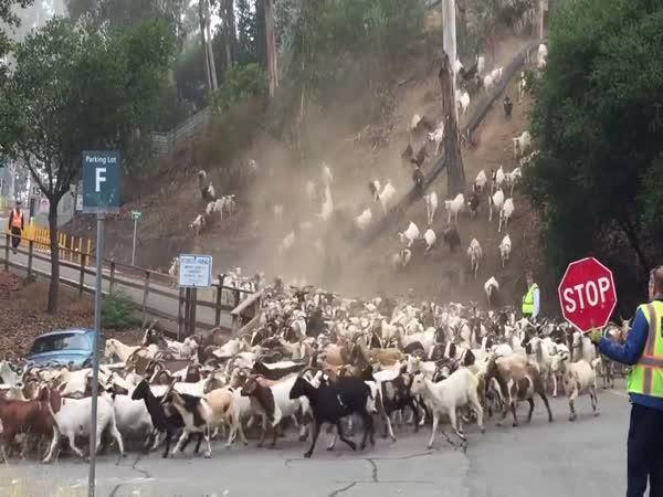 Všude samé kozy (USA)