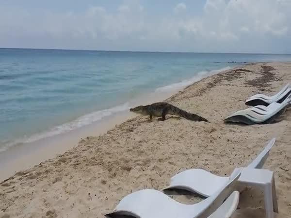 Krokodýl na pláži v Mexiku