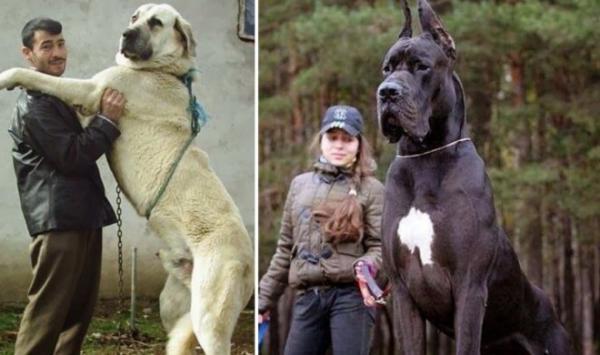 GALERIE - Největší psi na světě