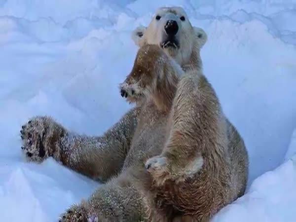 Mytí ledního medvěda