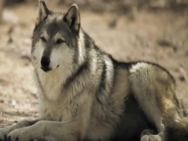 Jak mění vlci tok řek