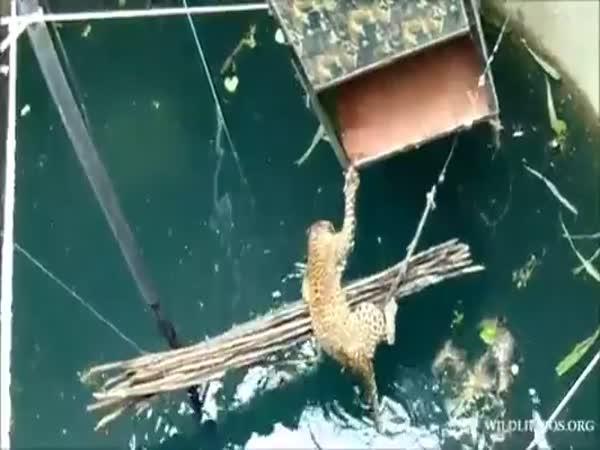 Záchrana leoparda ze studny