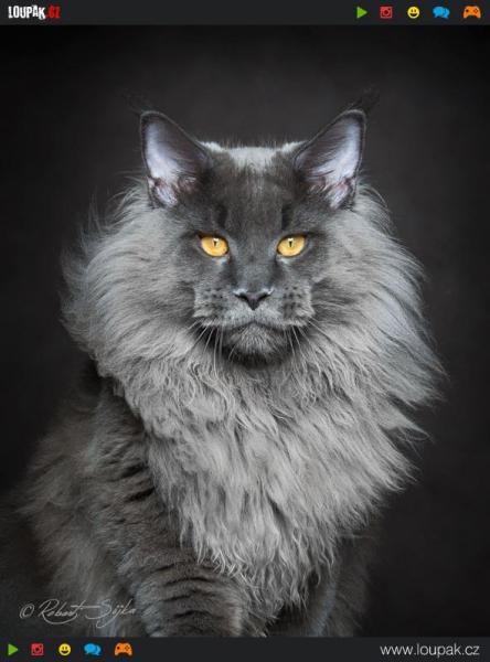 GALERIE - Mainská mývalí kočka
