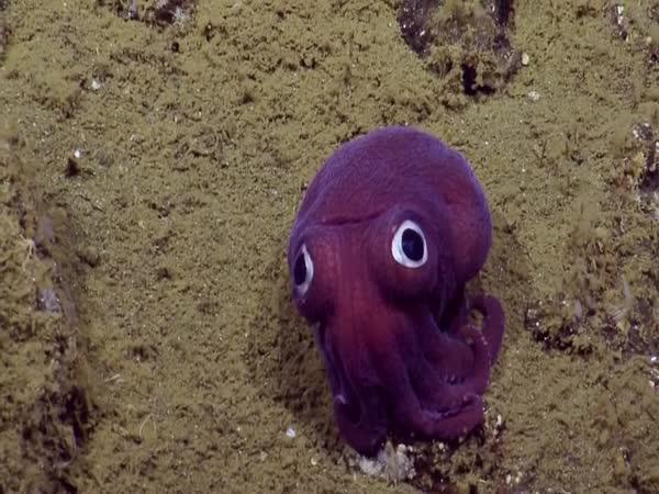 Chobotnice z II. patra existují