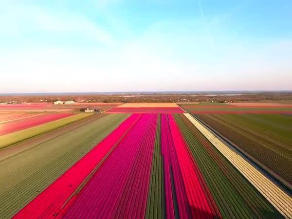 Holandsko - Tulipánová pole
