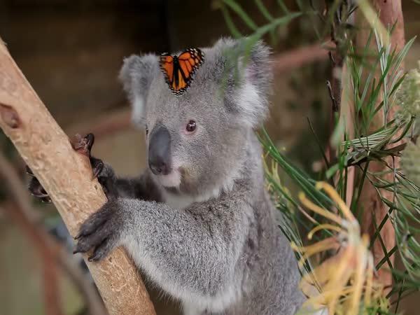 Koala a motýlek