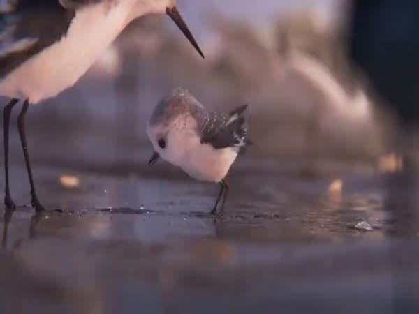 Krátký animovaný film - Piper