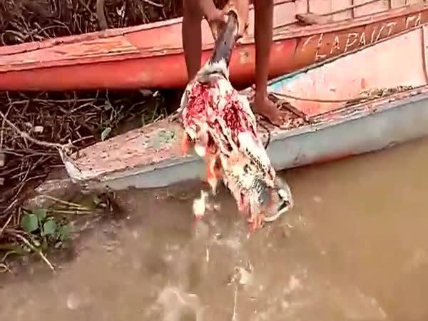 Kravská hlava vs. hladové piraně