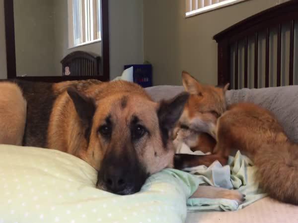Liška a pes - domácí mazlíčci
