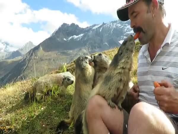 Krmení svišťů v Alpách