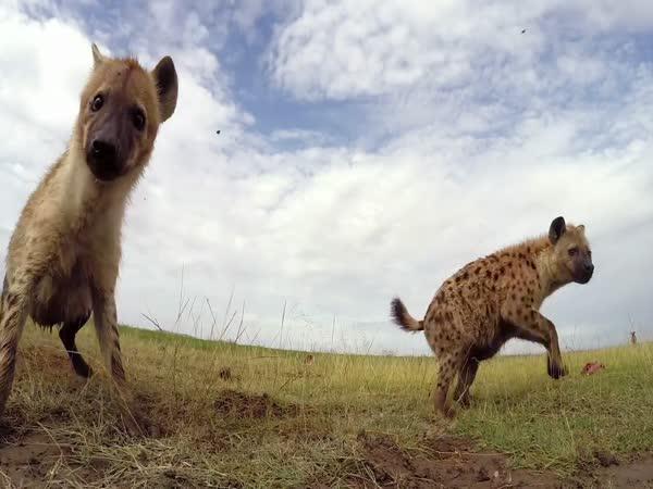GoPro - RC autíčko vs. Safari