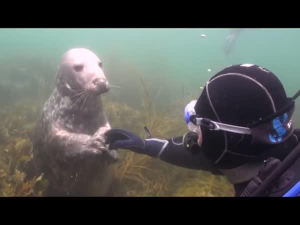 Vtíravý tuleň