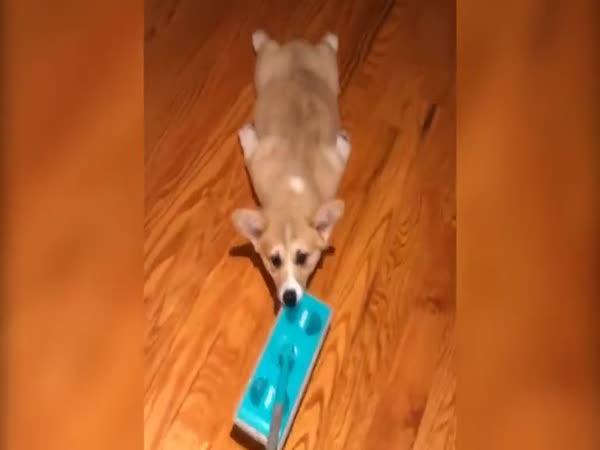 Pejsek rád leští podlahu