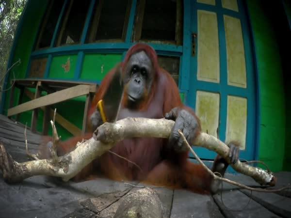 Jak naučit orangutana řezat dřevo?