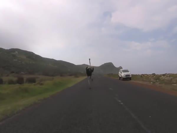 Cyklisty honí pštros