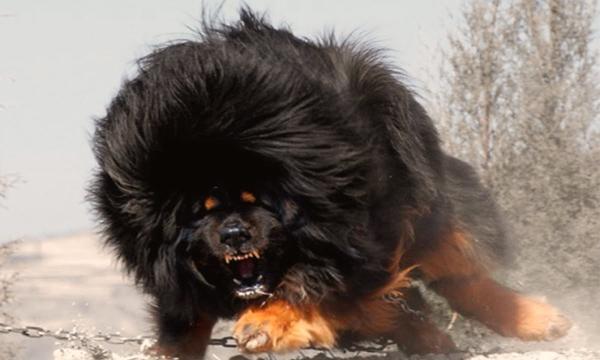 GALERIE - Nejnebezpečnější psí plemena světa
