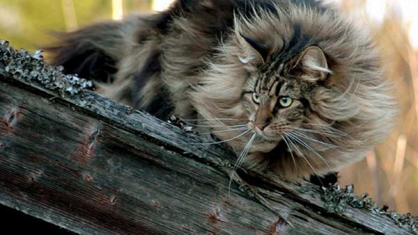 GALERIE - Norské lesní kočky