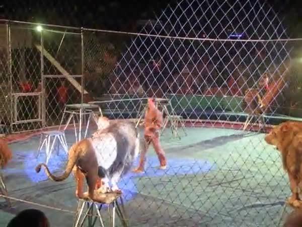 Když se lev v cirkuse rozzlobí