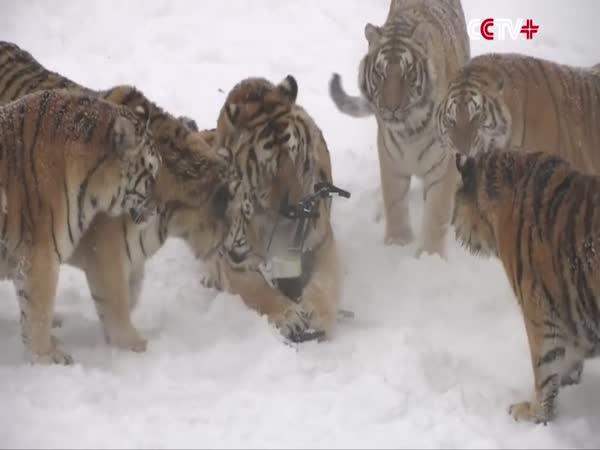 Tygři pohledem dronu