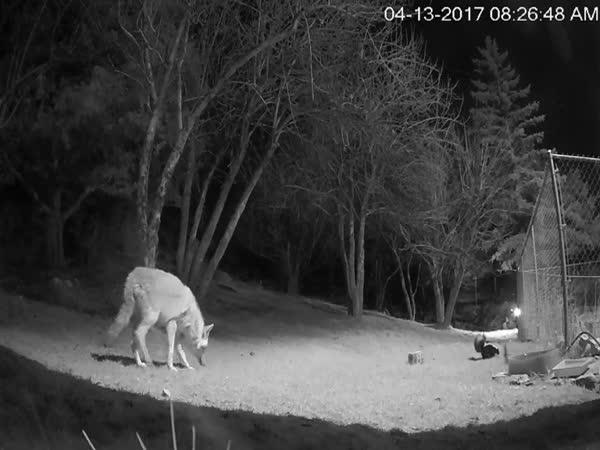 Čeho se nejvíce bojí kojot?