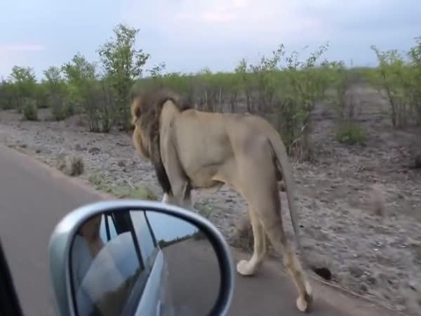 Když ti lev něco naznačí