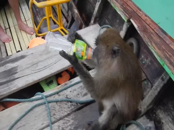 Turisty navštívila opilá opice (Thajsko)