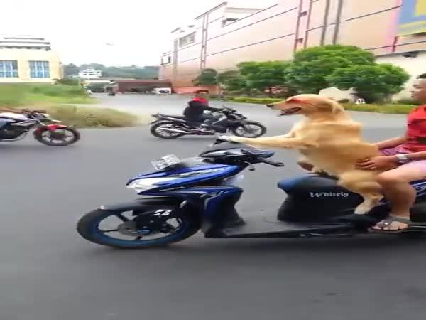 Zlatý retrívr umí řídit motorku