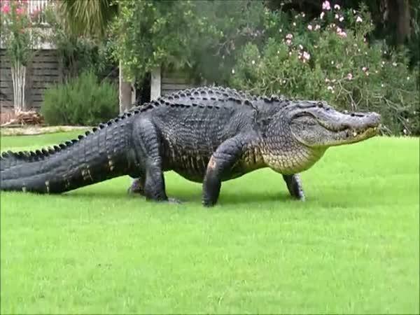 Aligátor na golfu