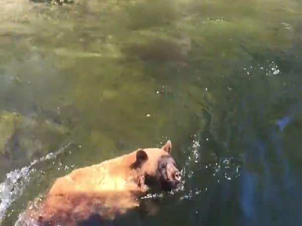 Medvěda unesl proud vody