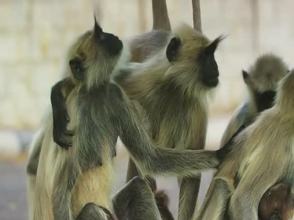 Opice truchlí pro mrtvé mládě