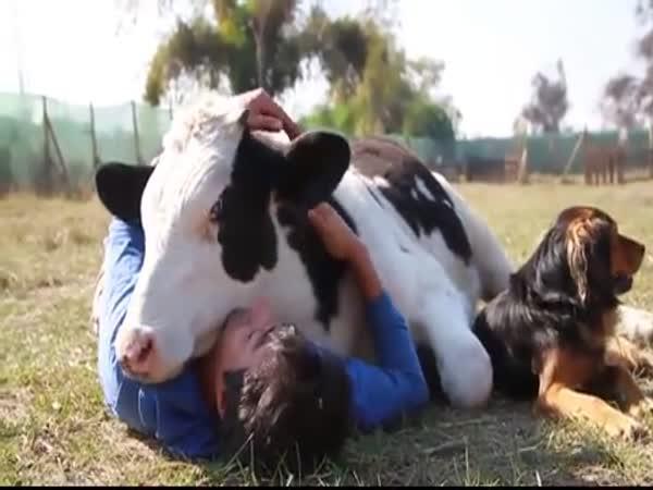 Náš domácí mazlíček - kráva