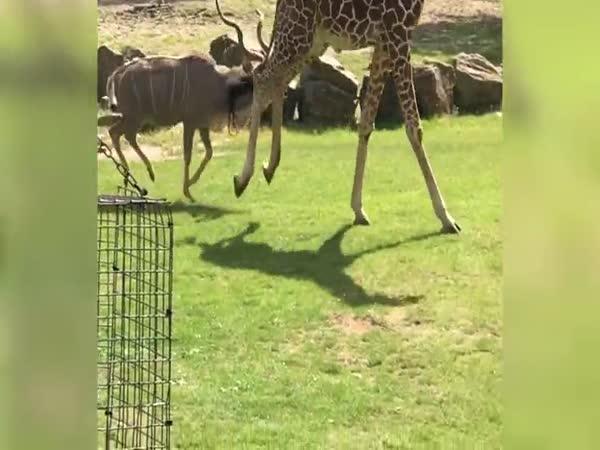 Antilopa se nepohodla se žirafou