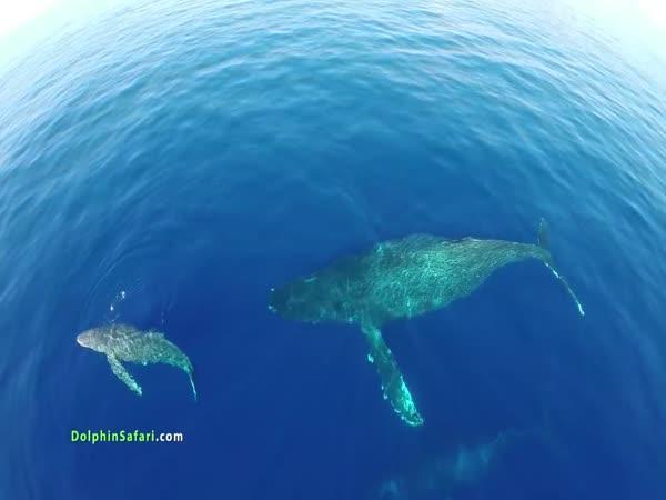 Úžasné záběry delfínů z dronu