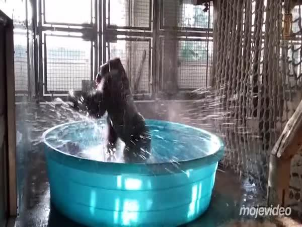 V horku se i gorila ráda zchladí