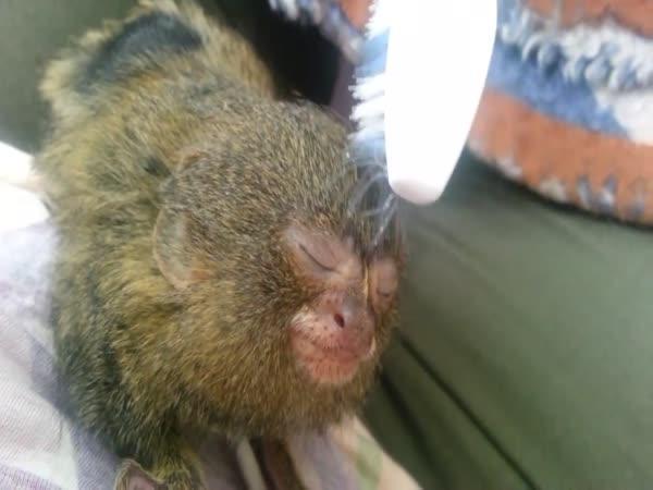 Maximální slast nejmenší opice