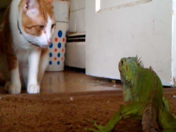 Kočka vs. leguán