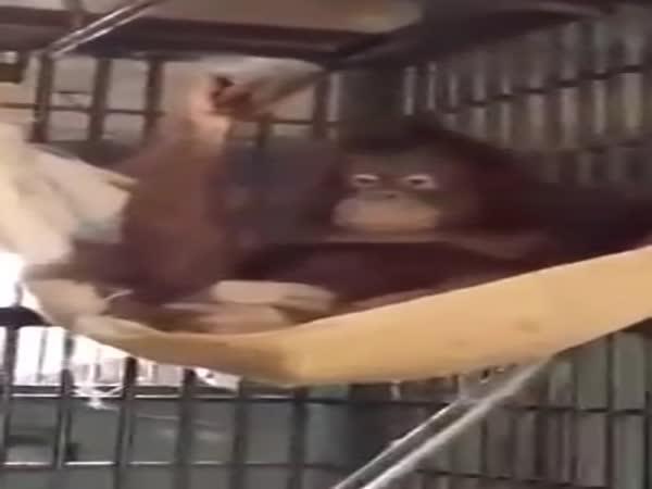 Orangutan si vyrobil závěsnou postel