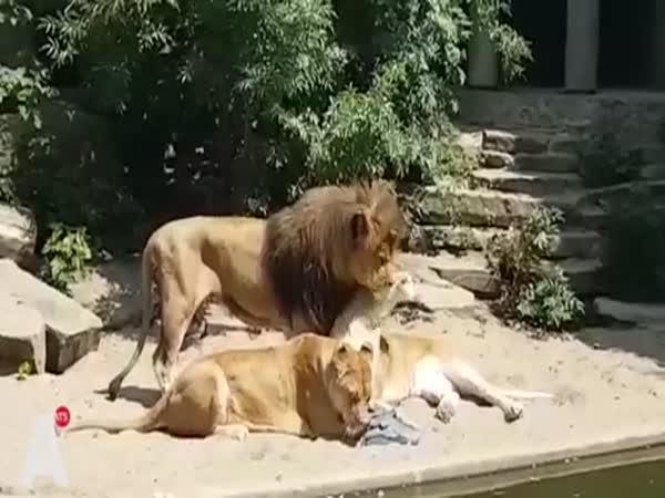 Lvice dostala chuť na volavku
