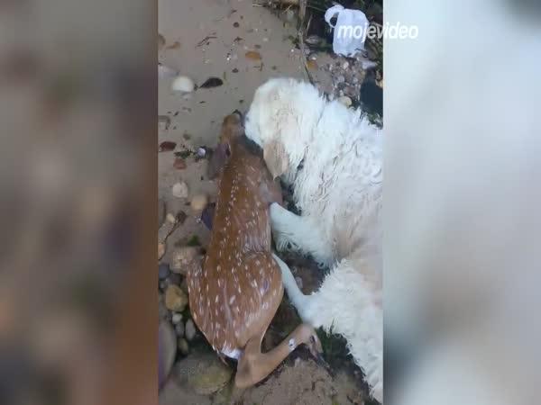 Pes zachránil kolouška