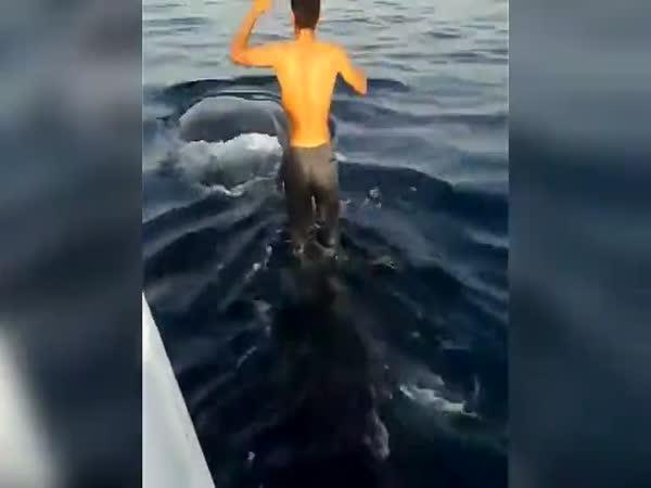 Surfování na žraloku obrovském