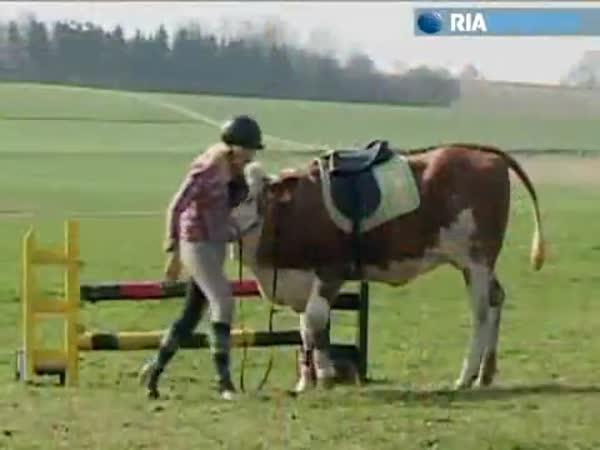 Němka trénuje krávu místo koně