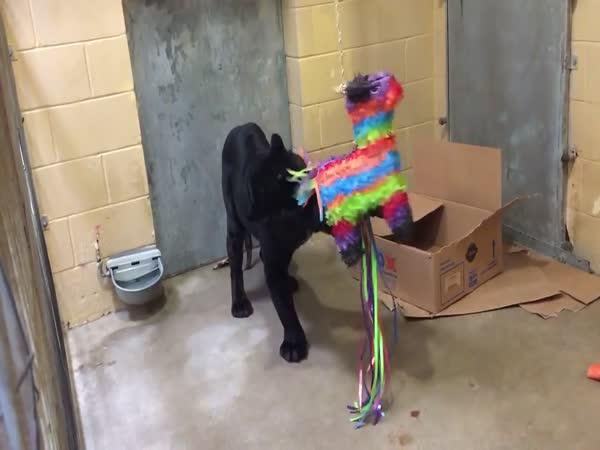 Černý panter a piñata