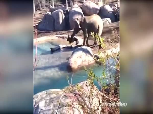 Slon vs. berneška