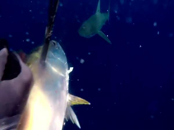 Souboj potápěče a žraloků