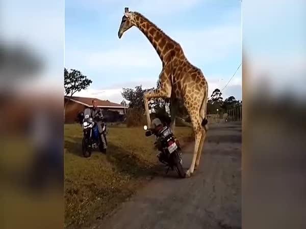 Žirafa na motorce v ulicích