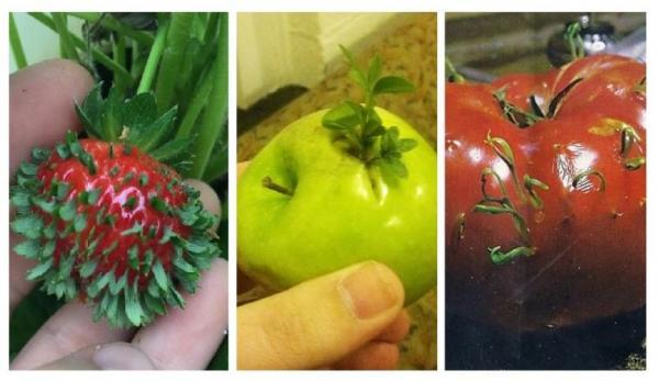 GALERIE - Předčasné klíčení zeleniny a ovoce 1