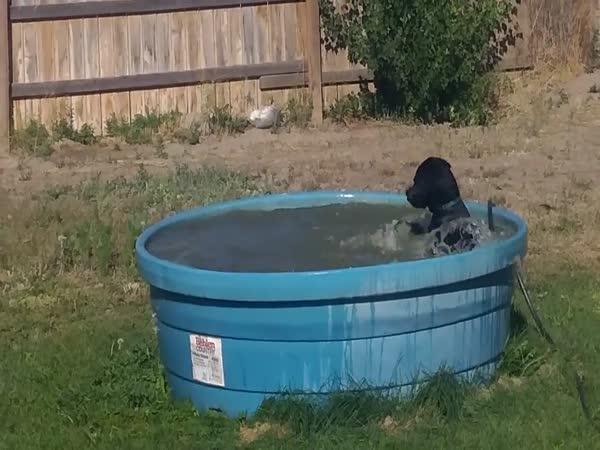 Labrador ví, jak se zchladit