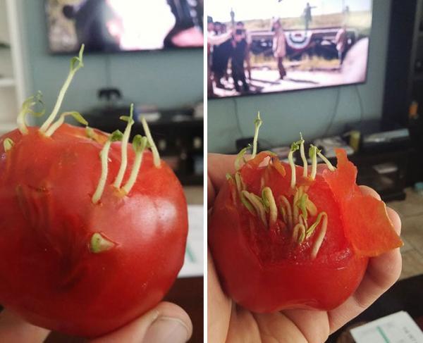 GALERIE - Předčasné klíčení zeleniny a ovoce 2